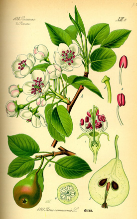illustration pyrus botanical